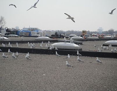 nuisance gull control services