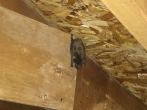 Bat exclusion and removal